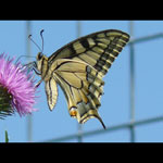 11-Papilio machaon.jpg
